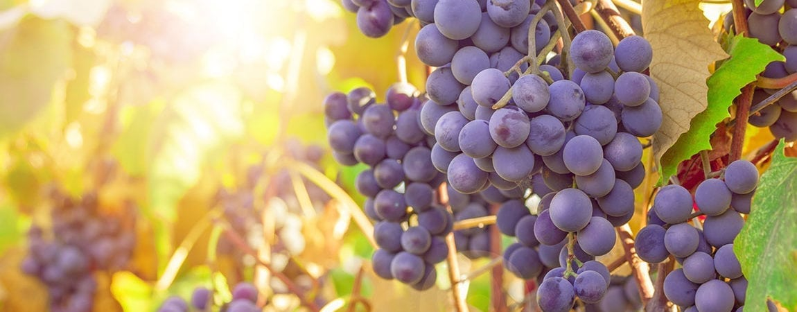 Grape Polyphenols Proven to Help Neutralize Effects of a High-Fat Diet