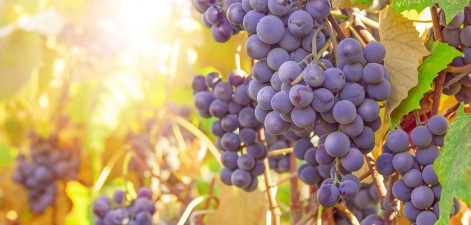 Grape Polyphenols Proven to Help Neutralize Effects of a High-Fat Diet 1