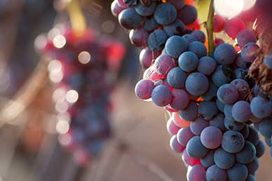 New Research Shows the Health Benefits of Resveratrol Extend Beyond Heart Health